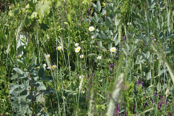 Bunte Pflanzenvielfalt in den Reben von Cecilia Zucca.