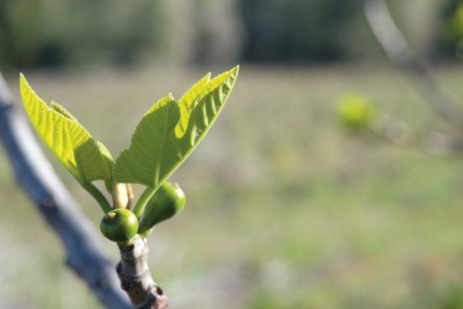 winzerberater-olivenbaum