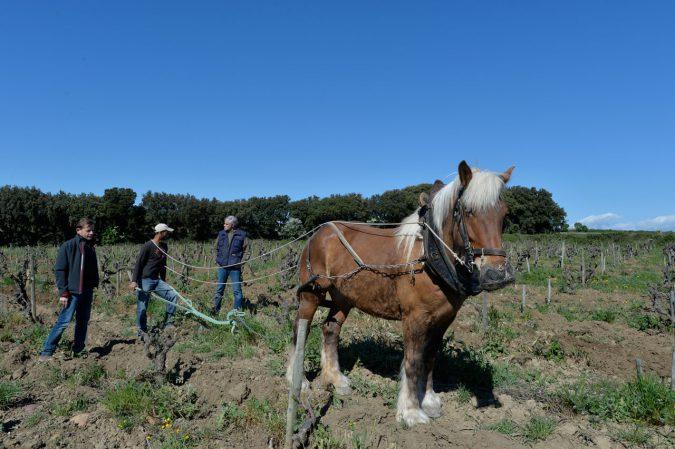 Pferd im Weinberg