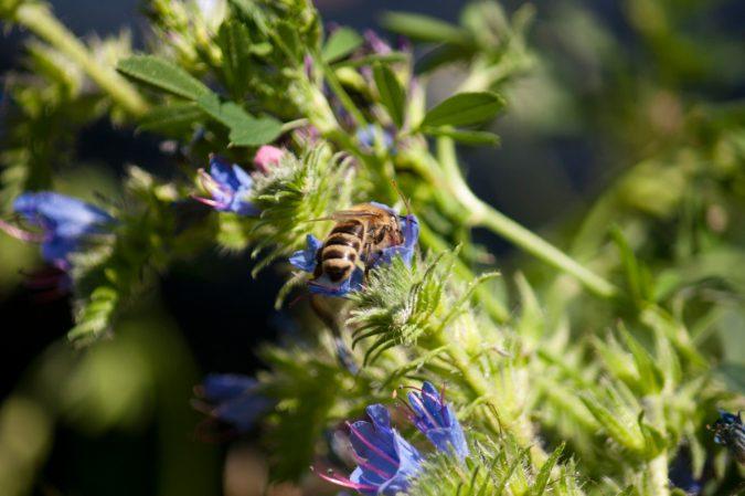 Biene in der Blüte