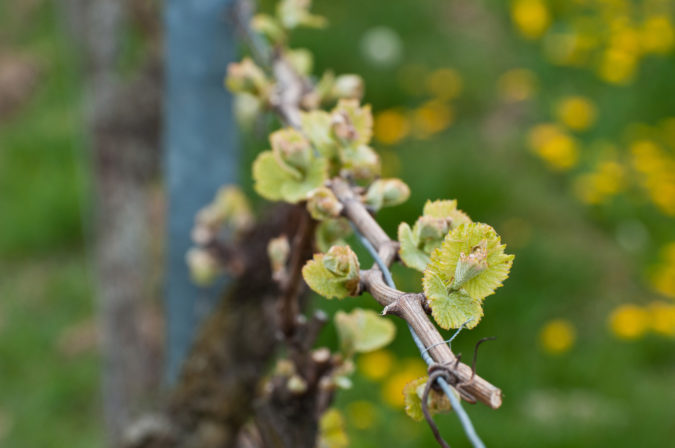 Weisswein im Frühling