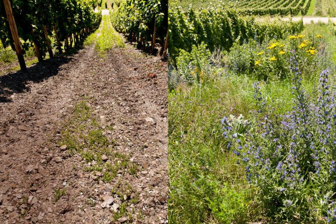 Metamorphose im Weinbau: Weg von der öden Monokultur zu einem biodiversen Weinberg