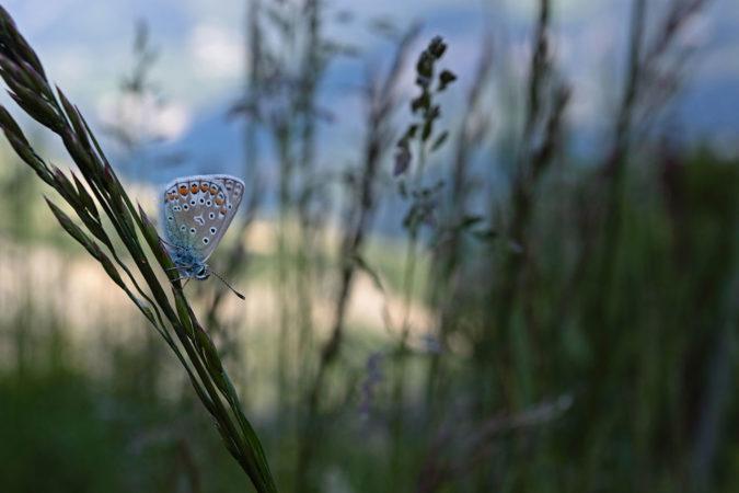 Schmetterlinge fühlen sich in den Delinat-Weinbergen sichtlich wohl.