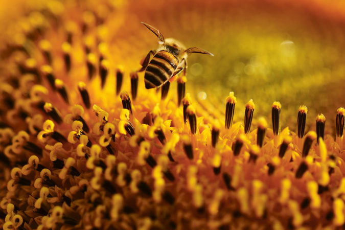 Eine Biene auf der Suche nach Nektar auf einer Sonnenblume