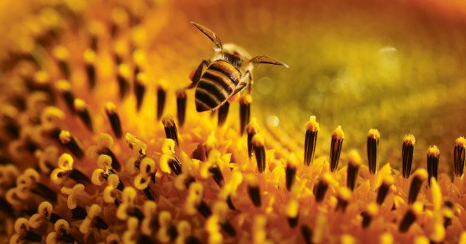 Honigbiene auf Sonnenblume