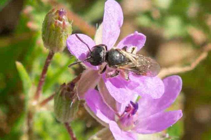 Wildbiene auf dem Weingut Hirschhof