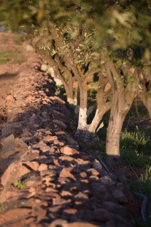 Das Aufschütten der Wälle mit Steinen entlang der Olivenbäume, schafft auf Vale de Camelos Brutmöglichkeiten für Nützlinge.