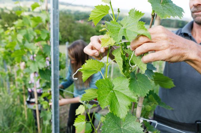 PIWI-Rebsorten auf dem Weingut Lenz