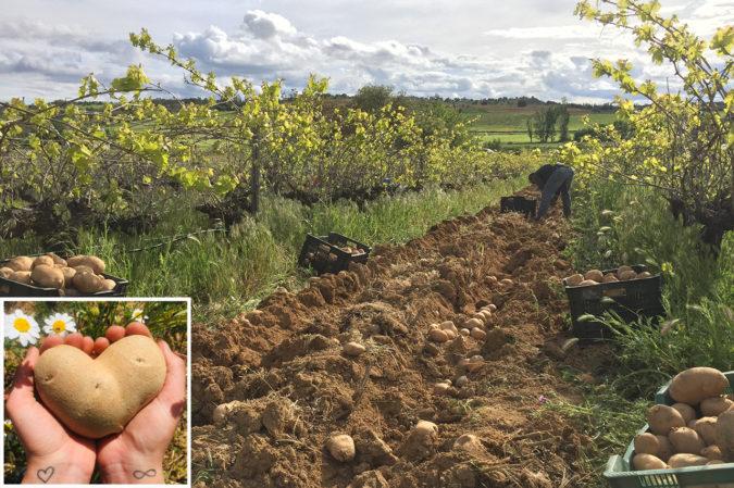 Kartoffeln auf dem Weingut Volvoreta