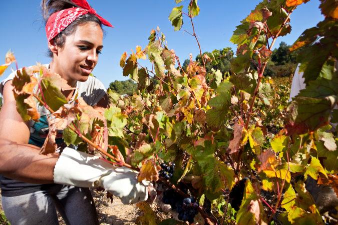 Weinlese auf der Domaine Lignères