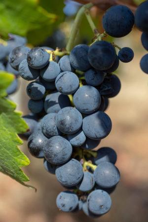 Gute Traubenqualität in Süditalien