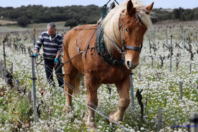 In den besten Lagen der Domaine de Beaurenard kommen statt Traktoren Pferde zum Einsatz.