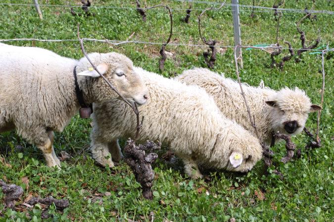 Schafe weiden in den begrünten Weinbergen und helfen dabei beim Humusaufbau.