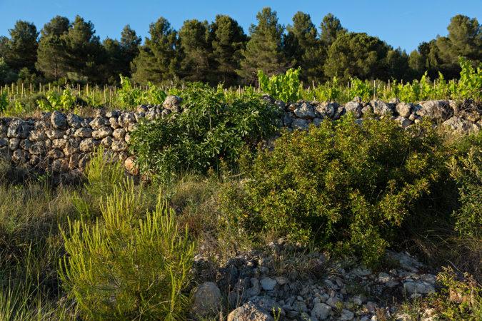 Bäume und Sträucher fördern die ökologische Vernetzung und steigern die Artenvielfalt im Weinberg.