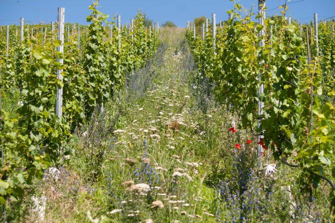 Eine vielfältige Begrünung zwischen den Rebzeilen bietet nicht nur Nahrung für Insekten, sondern baut auch Humus auf und fördert ein gesundes Bodenleben.