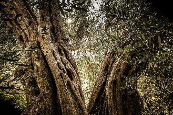 Tausendjähriger Olivenbaum in der Toskana
