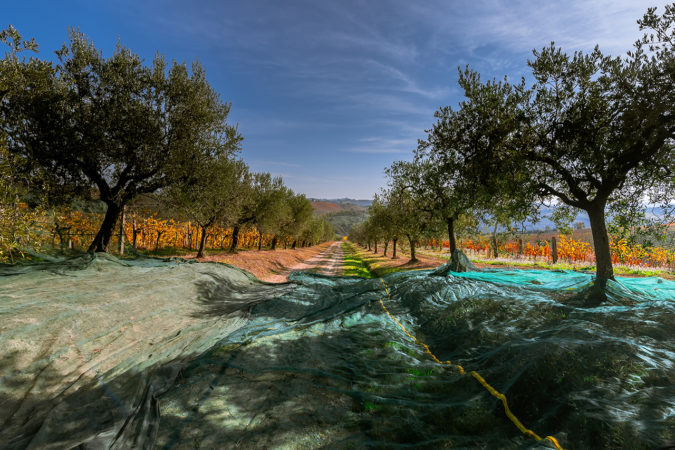 Olivenöl-Ernte auf dem Weingut Sangiovanni