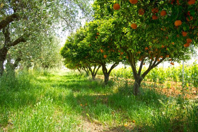 Mischkultur auf dem Weingut Maggio: Oliven, Orangen und Reben