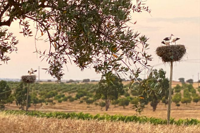 Olivenbäume auf dem Weingut Vale de Camelos im Alentejo