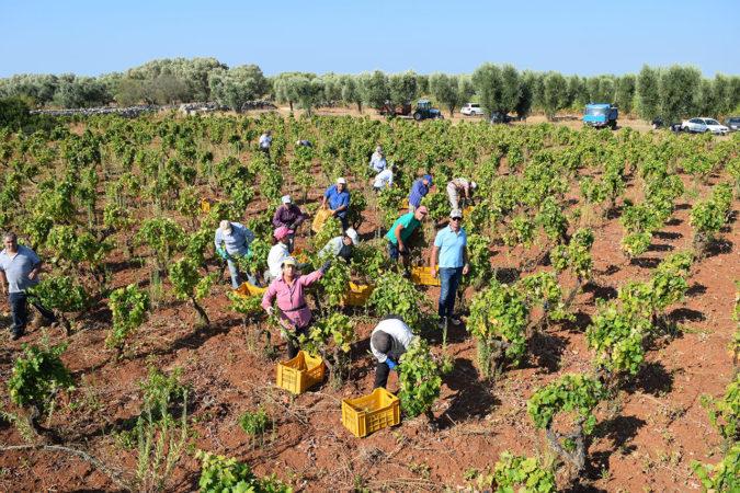 Erntehelfer auf dem Weingut Felline in Apulien beim Ernten der Primitivo-Trauben
