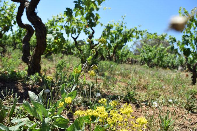 Biodiversität im Weinberb in Apulien
