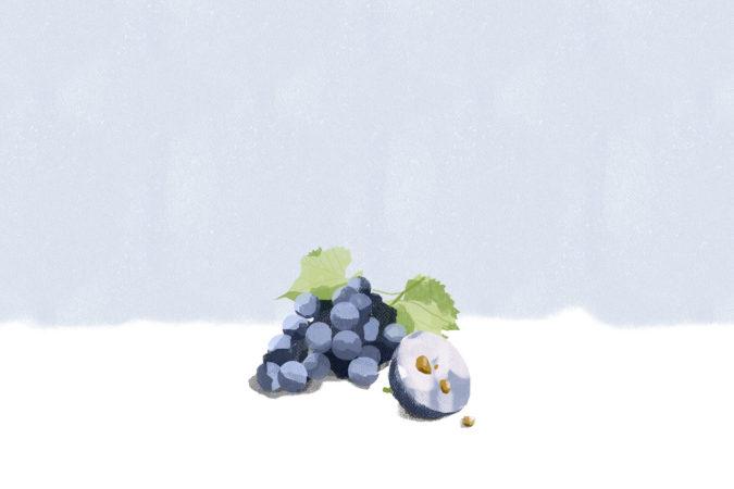 Der ideale Erntezeitpunkt für Weintrauben hängt von vielen Faktoren ab.